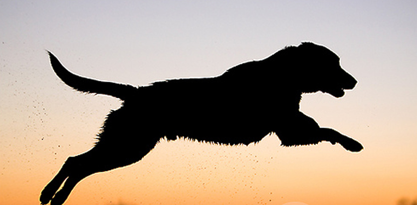 Photograph; A leaping, black labrador dog in mid-flight at sunset